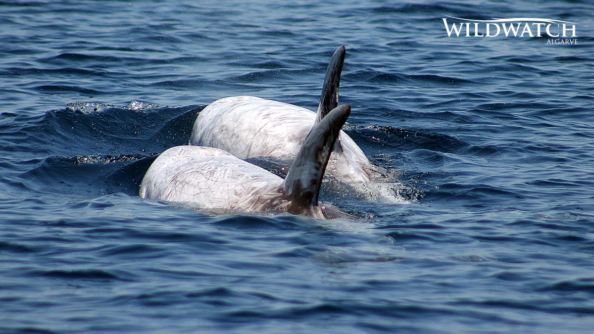risso dolphins algarve